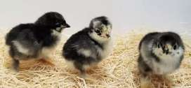 Bantam Chicks 0 Size Black and Coco