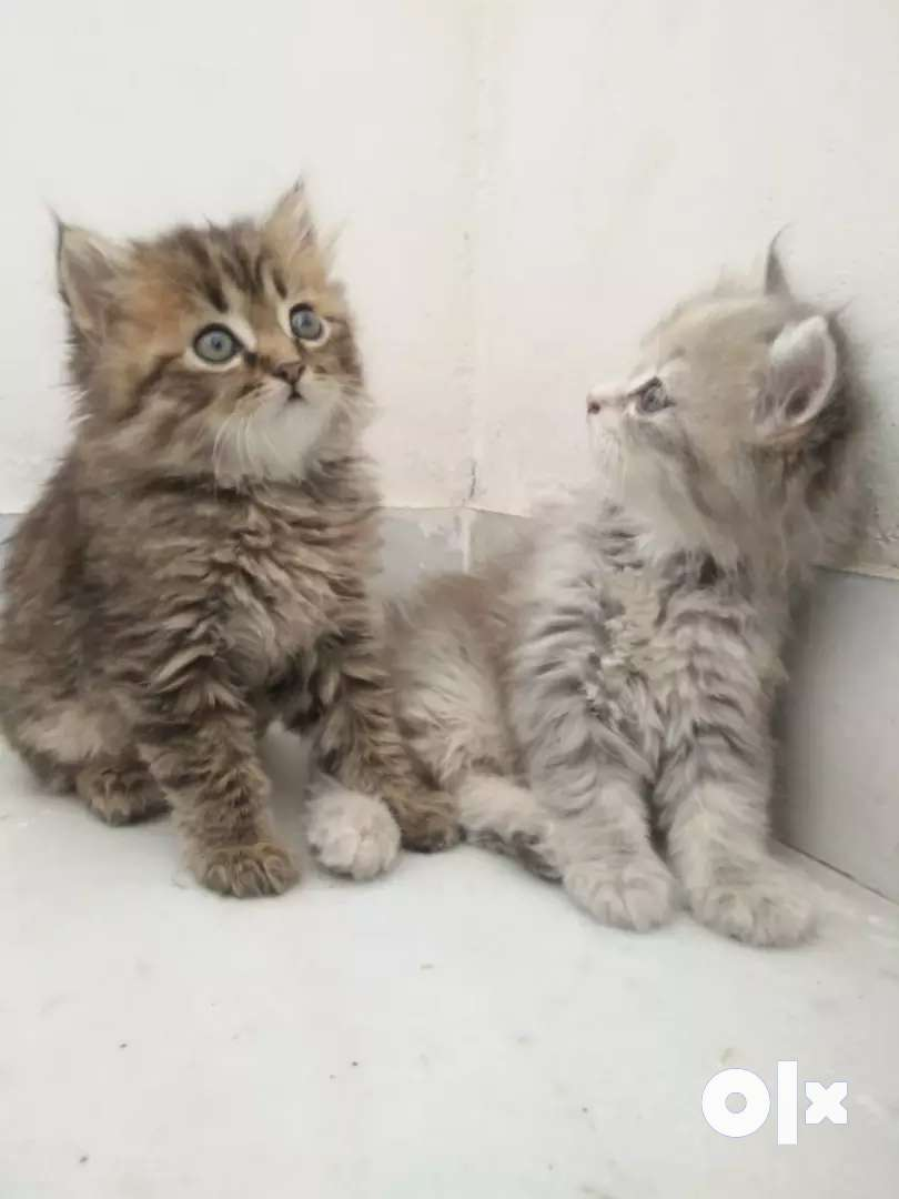 Cats pure & all Breed Available PET SHOP 0