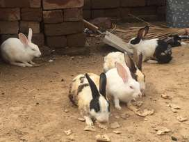 7 rabbits jin me se 5 bary or 2 choty bachy hy 3 female 2 male or 2