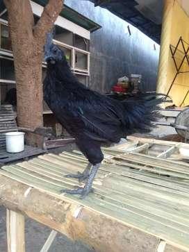 Ayam cemani LH usia 5 Bulan