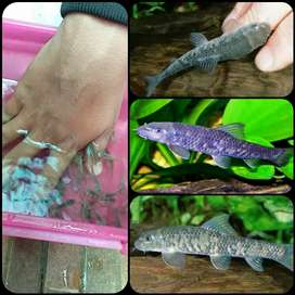 Ikan terapi atau ikan garrarufa untuk aquarium dan aquascape