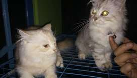 Lepas adopsi Anak kucing anggora sepasang cowo cewe