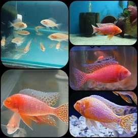Ikan aulonocara dragon blood albino mata merah untuk aquarium