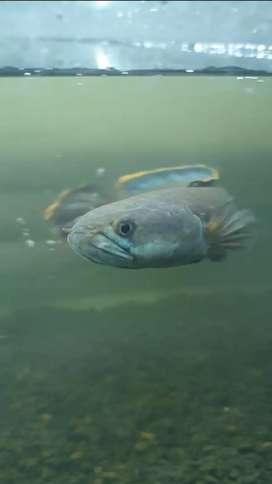 Ikan Channa Gachua
