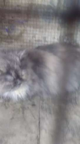Grey and white persion cat