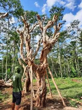 Pohon kamboja fosil eksotik