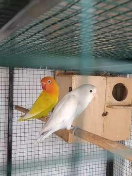 Jual burung loveberd