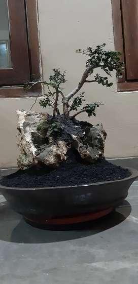 Bonsai serut ontherock alami dari alam