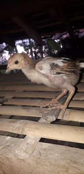 Anakk ayam sapihan