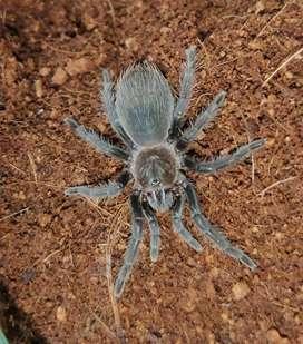 Tarantula Brachypelma Albopilosum