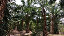 Dijual kebun kelapa sawit