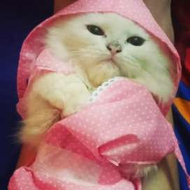 Persian cat( need to sell urgent)