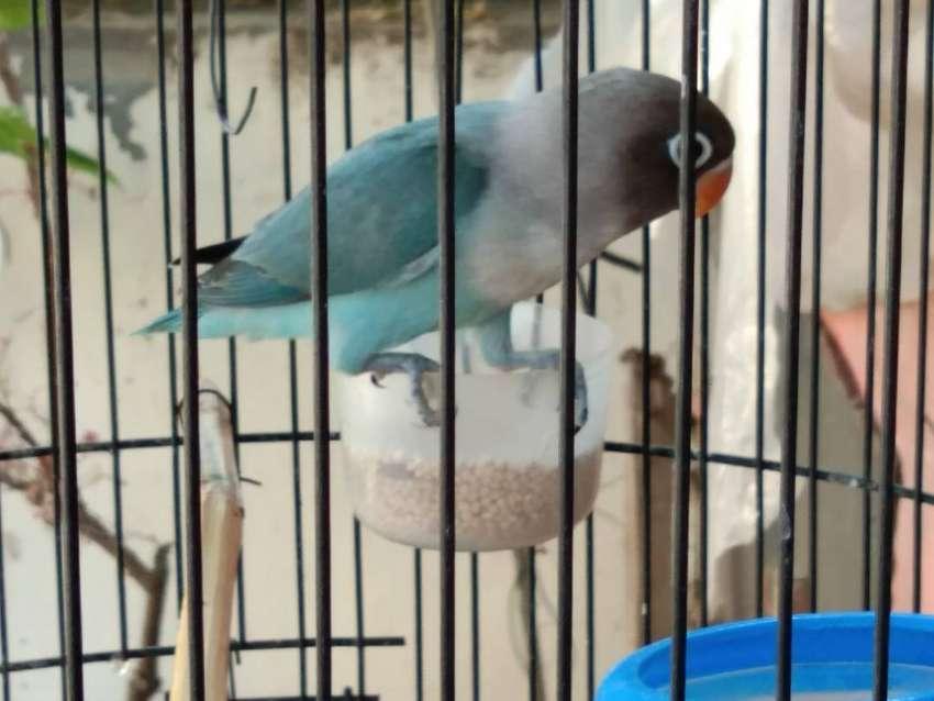 Lovebird Biru Cobalt Solid 0