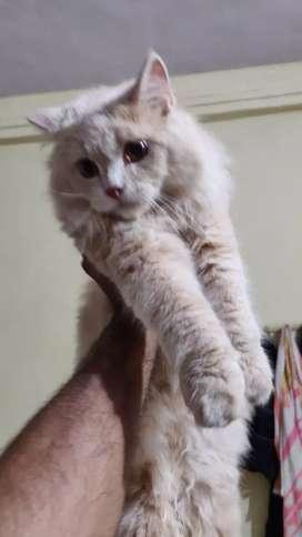 Pure Persian White  Male kitten