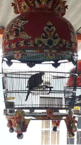 Burung perkutut tidak terim t/t pleci,murai,lovebird,anis,kacer,kenari