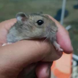 Jual hamster whinter,cambbell
