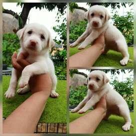 Anakan anjing lucu gemuk labrador mixbreed golden istimewa
