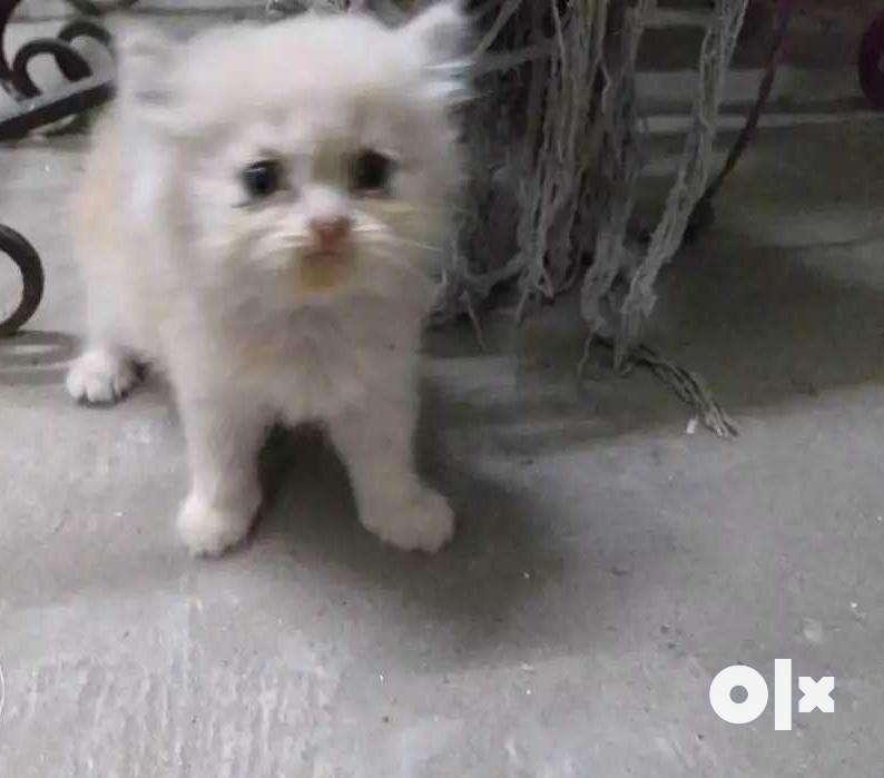 Persian kitten available 0