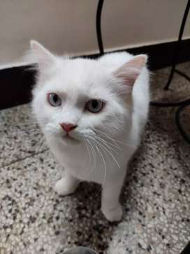 Adult male cat for mating