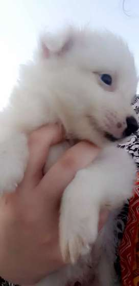 Russian triple coat pups available for sale