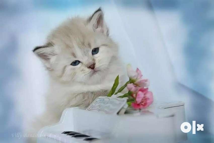 FCI registered Persian kitten for sale 0