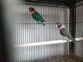 Labet lovebird pb tortuise x euwing vio