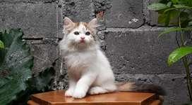 kucing persia medium betina van calico lucu