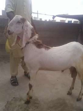 Bakra for sell