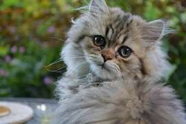 Persian Cats Pair triple coated punched face (white + smokey)
