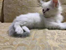 Blue eyed doll face Persian cat