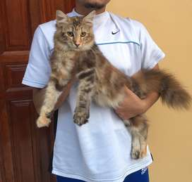 KUCING MAINECOON 4.5 bulan BETINA