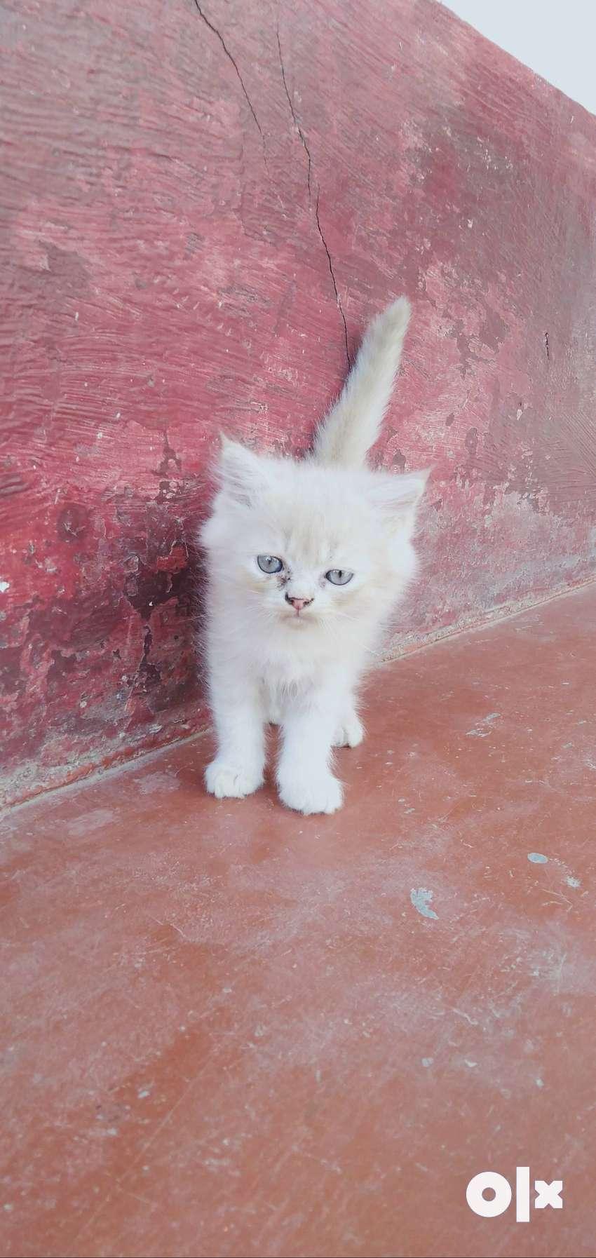 Pershian cats 2months 0