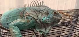 Iguana blue betina calon cetak uang