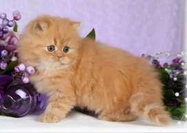 Brown Persian kitten