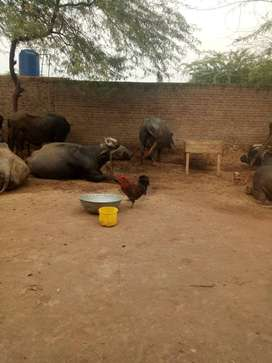 21 Cows and buffalos for sale