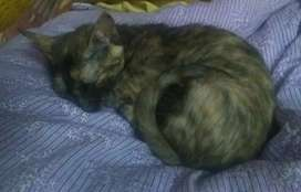 Indian kitten for adoption