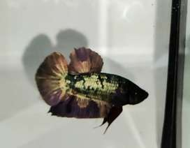 Ikan cupang avatar copper gold