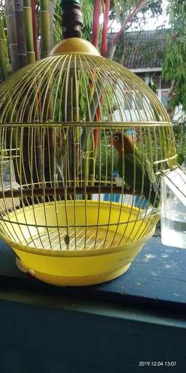 Love Bird Jantan Dewasa