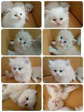 all india persian kitten delivery available