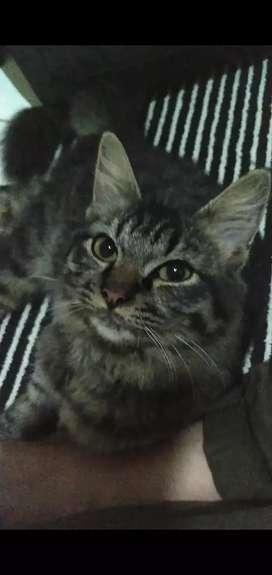 Kucing Mainecoon Kitten Cakeepp Jantan