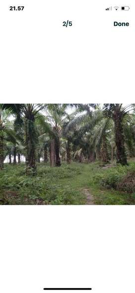 Jual Tanah Kebun Sawit Pinggir Jalan Loss Pantai 2 Hektar