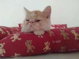 Kucing persia peaknose exotic shorthair