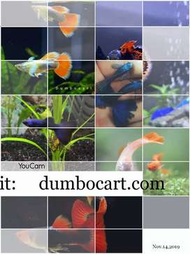 Quality guppies, Bettas, Shrimps and Artemia