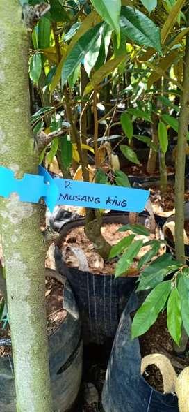 Bibit Pohon Durian Musangking tinggi 2 meter Up batang Besar