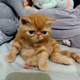 Open booking adopt kucing exotic shorthair