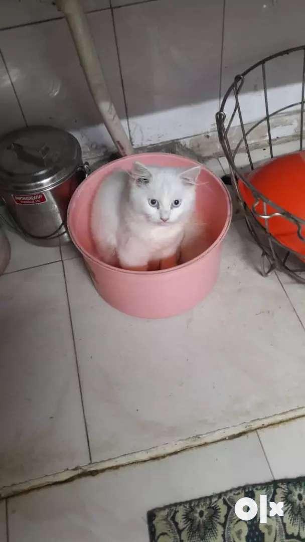 Snow Persian female kitten price negotiable 0