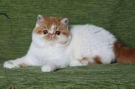 Fluffy hair Persian kitten for sale