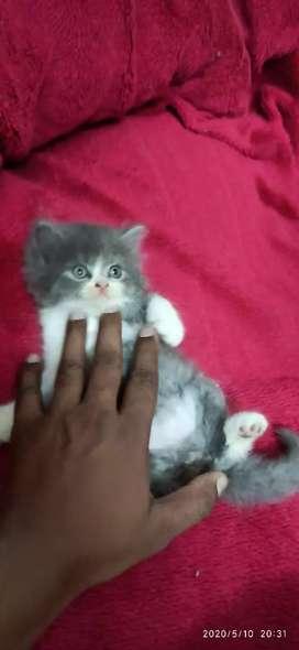 Pure Persian Kitten Male