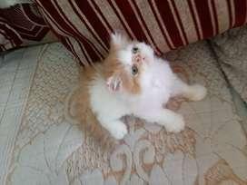 Punch face Pure Persian female Kitten
