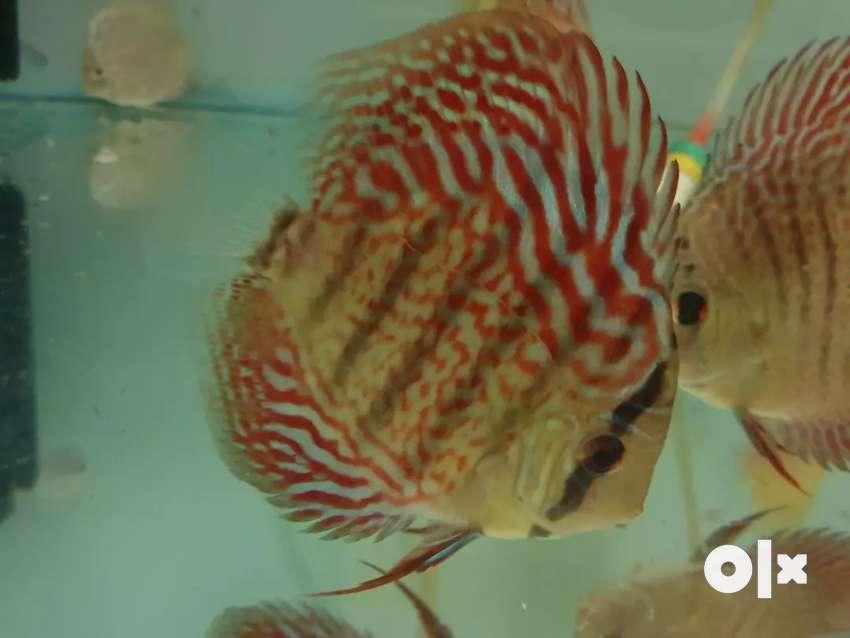 Discus fish 0